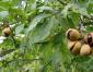 供应:七叶树种子,七叶树种子价格,七叶树种子批发,江苏七叶树种子批发价格,七叶树