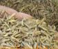 供应:黑麦草种子,黑麦草种子价格,黑麦草种子批发,江苏黑麦草种子批发价格,黑麦草
