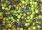 供应:罗汉松种子,罗汉松种子价格,罗汉松种子批发,江苏罗汉松种子批发价格,罗汉松
